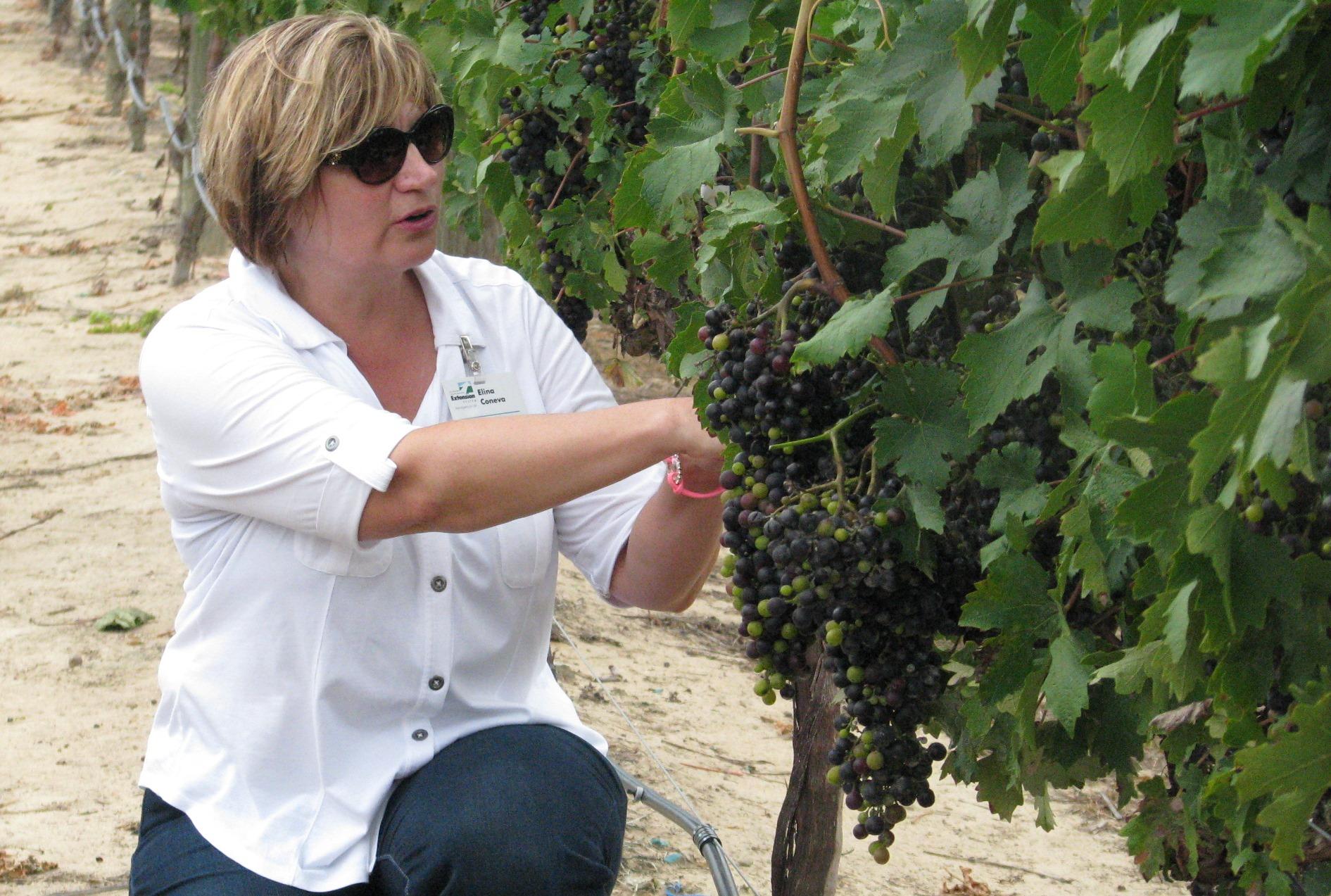 Coneva Grapes