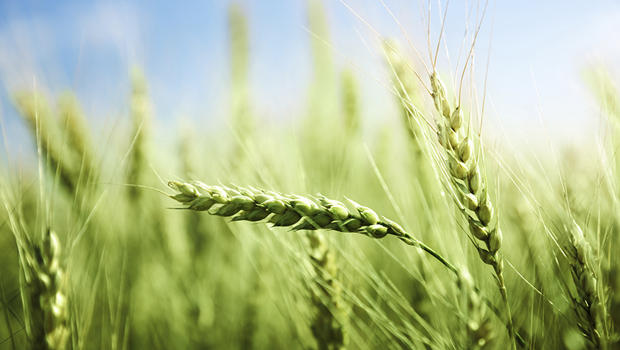 Photo of green wheat field and sunny day