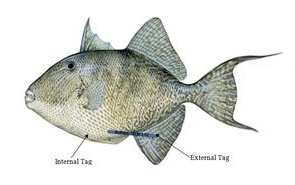 Trigger Fish Tag, Auburn Tagged Fish from the Gulf of Mexico, ocean