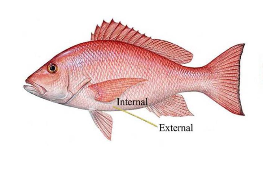 Tagged Red Snapper Fish, Auburn Marine Lab, Gulf of Mexico Ocean