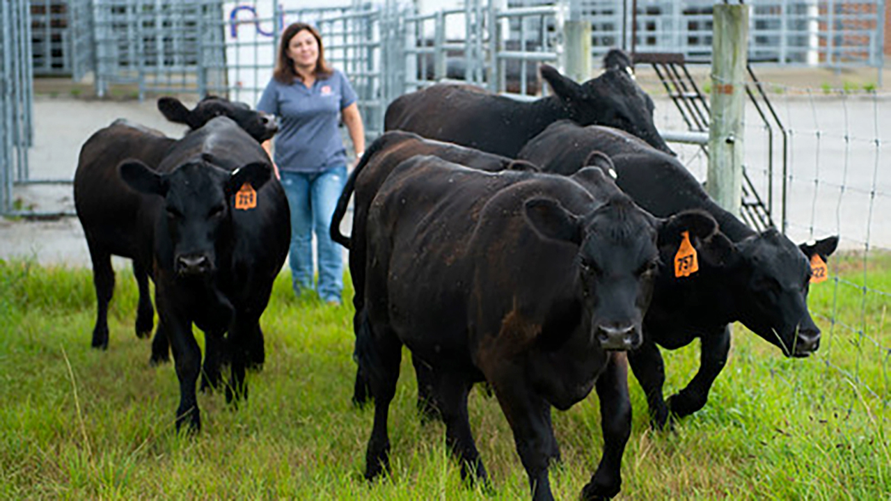 Christy Bratcher, Food Science, Animal Sciences, walking with some black cattle cows