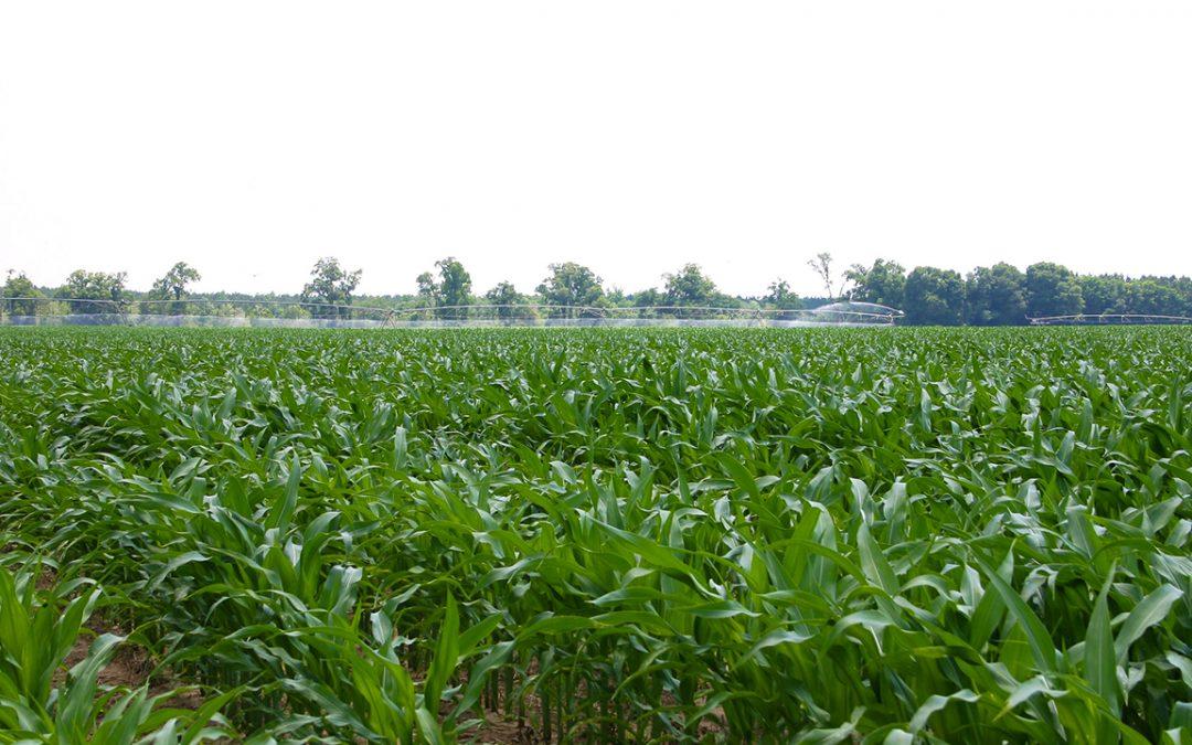 Ag economists discuss U.S. corn crop