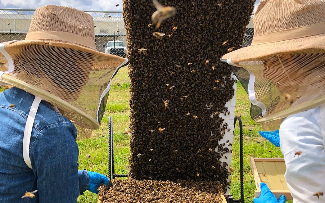 Auburn survey shows U.S. beekeepers lose four of every 10 managed colonies in 2017-18