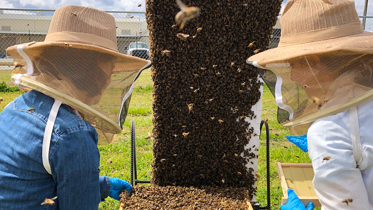 Two southern female grad students in latex gloves and beekeeper gear, research large bee hive.