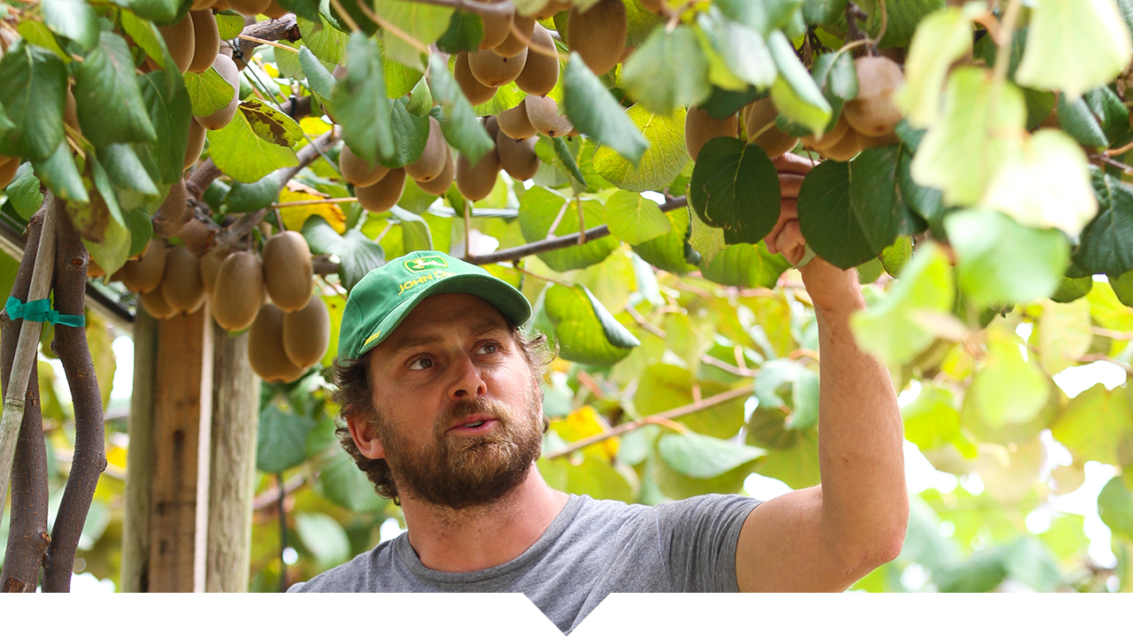 Horticulture farmer reaching up picking kiwi fruit from overhead vines.