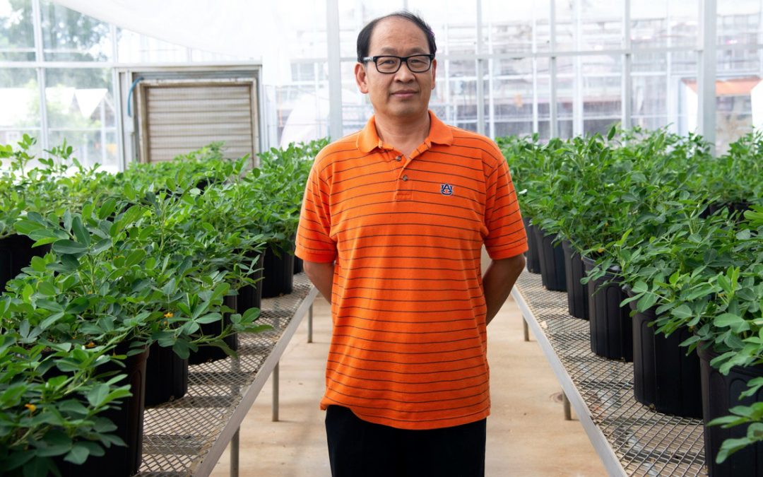 Peanut breeding program works on drought-tolerant plant