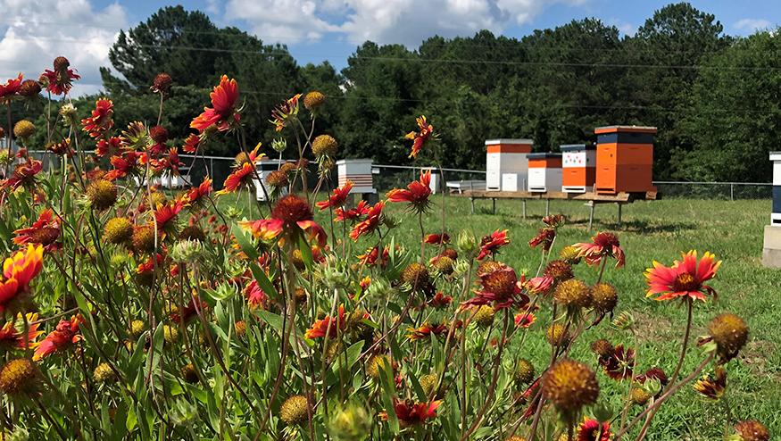 AU Bees colonies in lab yard
