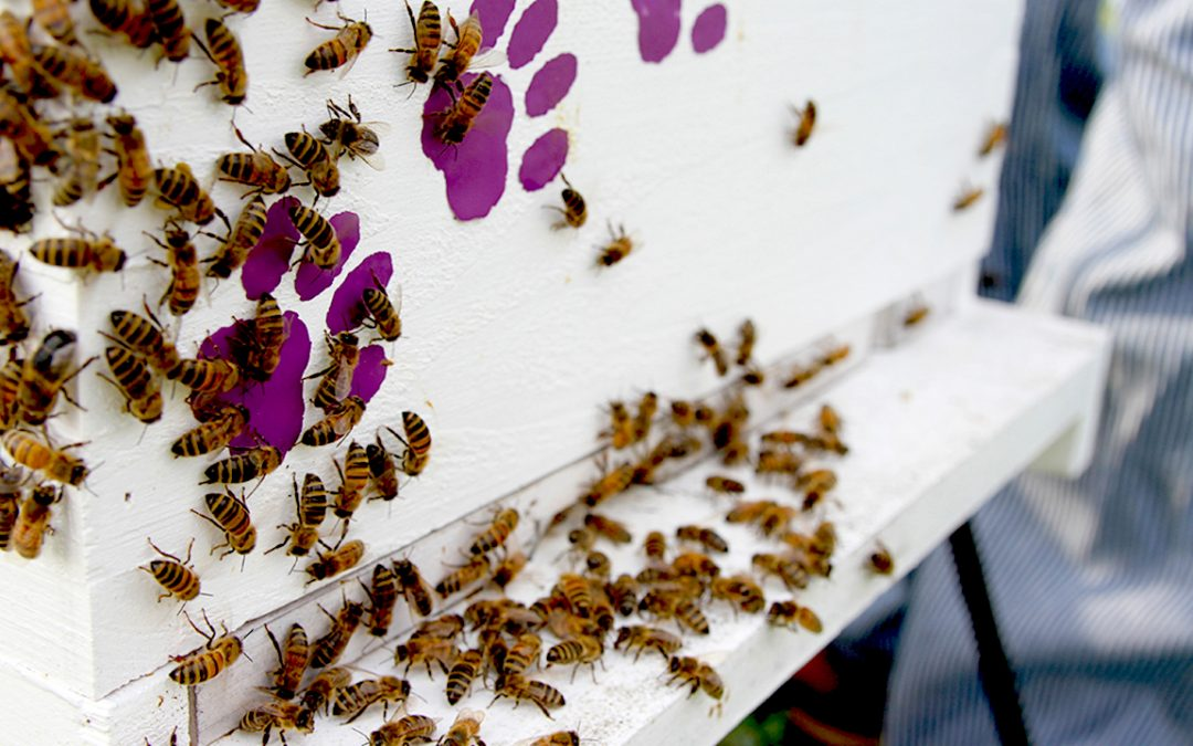 Auburn honey bees in a bee hive colony