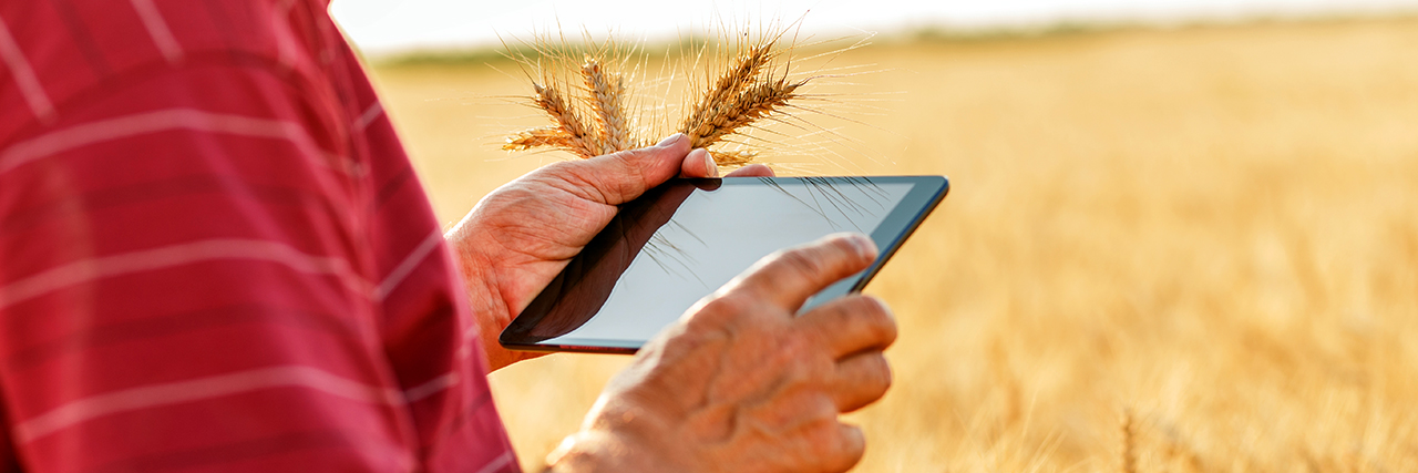 Close up of senior farmer standing in a wheat field with a mobile tablet and examining crop research data online.