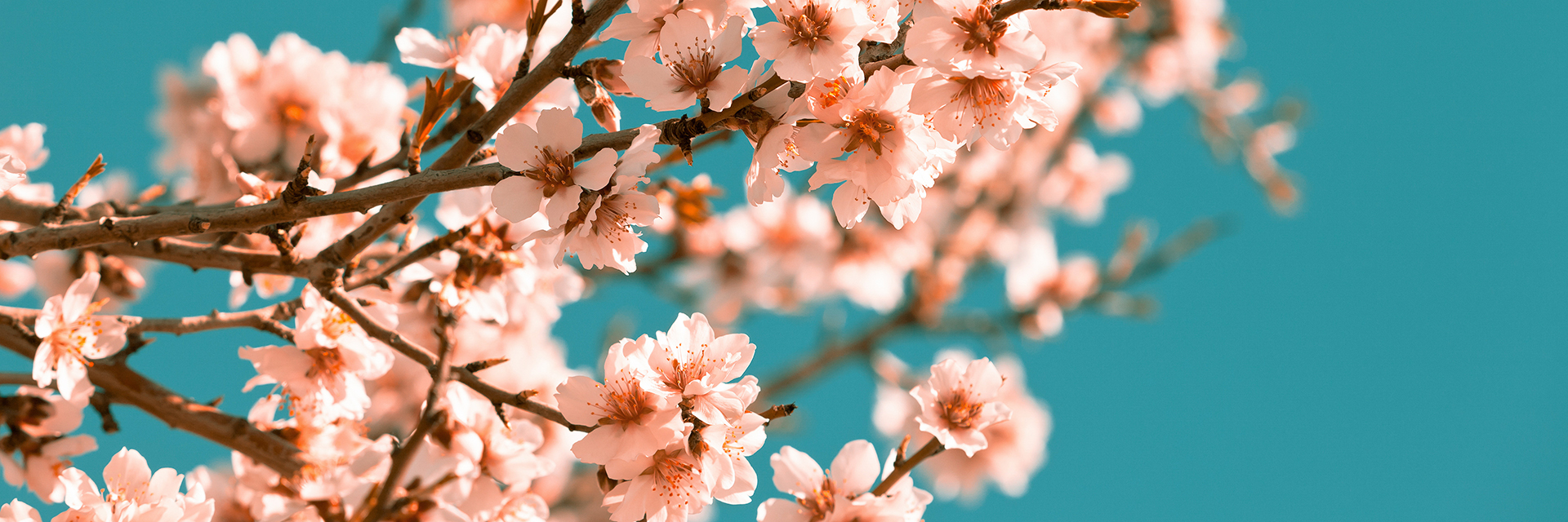 Auburn-Horticulture-Department-pink-flowers-blooming-peach-tree-at-spring-blue-sky-sm