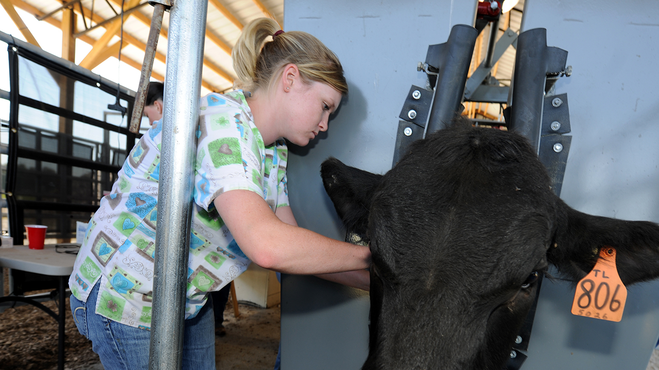 Female-student-majoring-in-Animal-Sciences-taking-care-of-cow