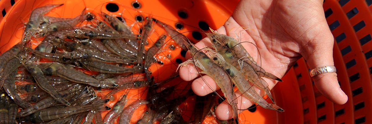 Fisheries-Pre-Vet-Med-Professional-Student-Major-Hand-Holding-gulf-coast-Shrimp-in-Orange-basket-sm