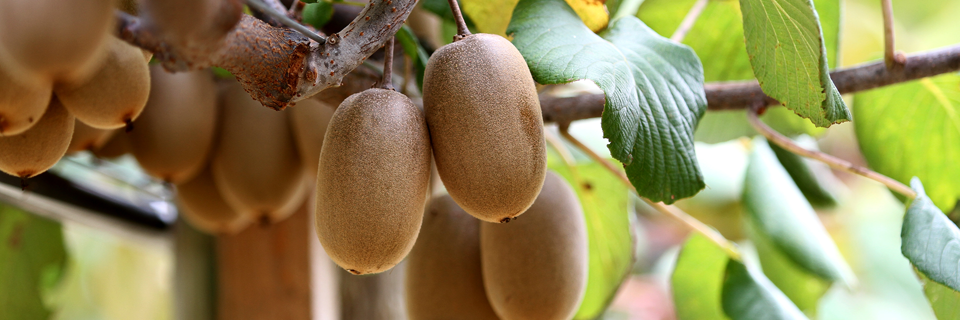 Kiwi-Fruit-Bunches-hanging-from-vine-with-green-leaves-on-Alabama-Farm-Horticulture-Fruit-Vegetable-Production-Major-4126-sm