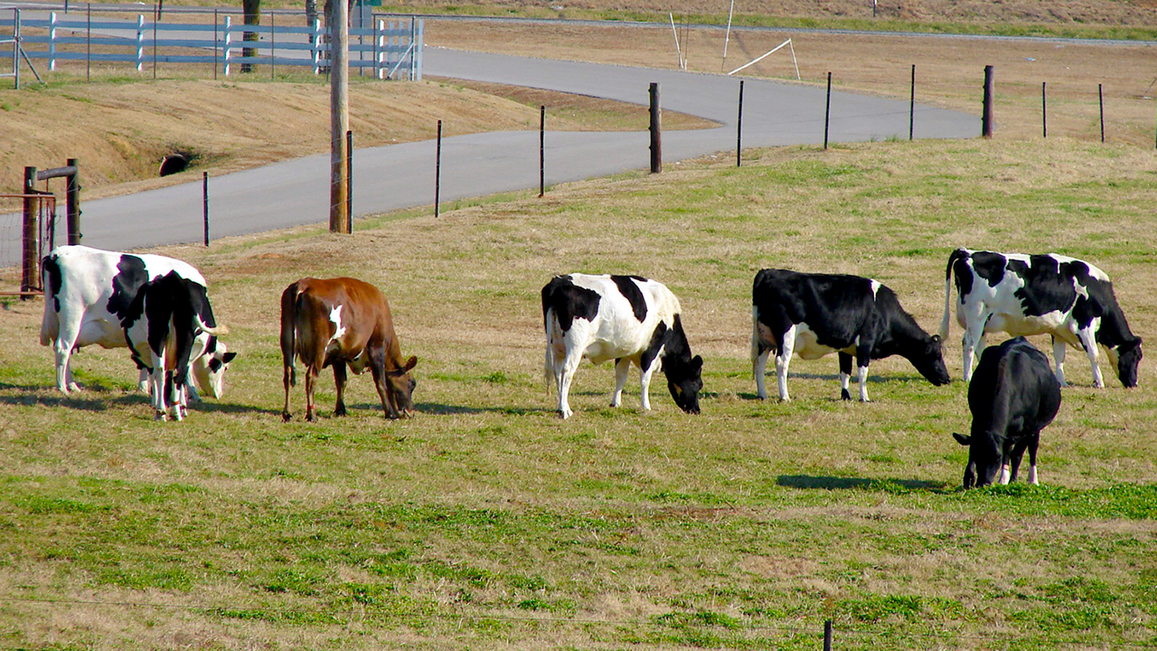 dairy-cows-beef-teaching-center-Auburn-pasture-grass