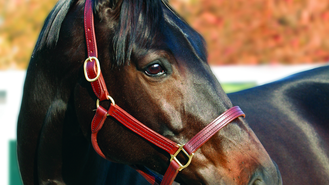 Beautiful-Brown-Eyed-Horse-Turning-Her-Head-with-Leather-Harness
