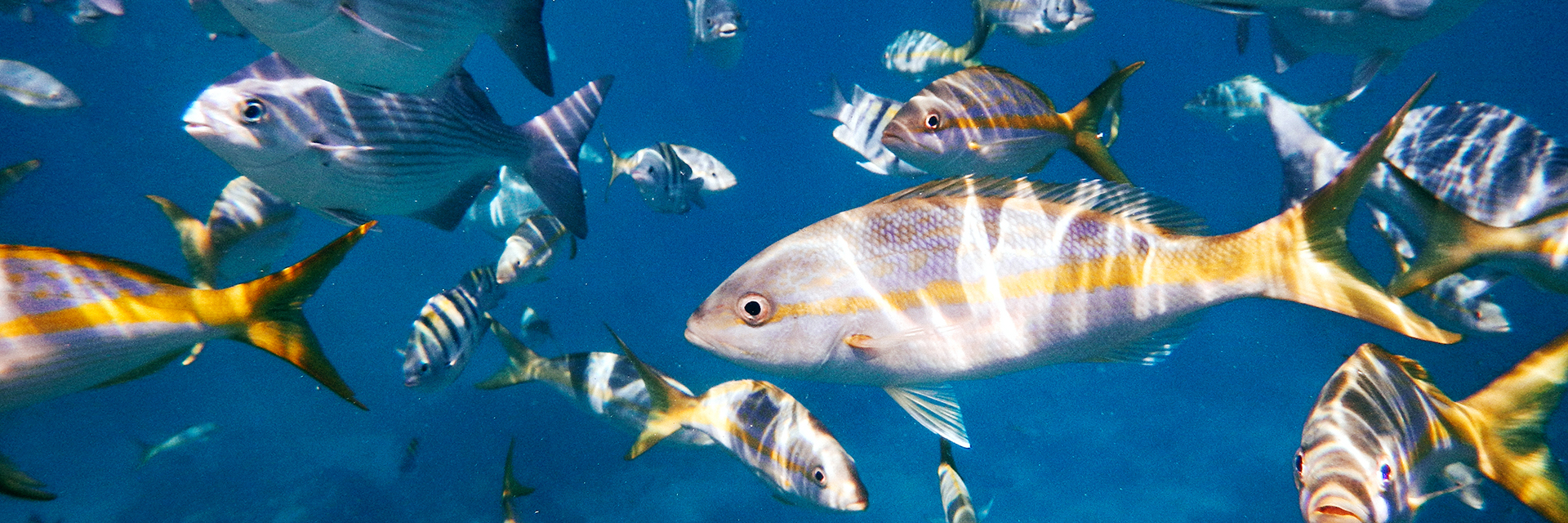 School-of-Fish-Yellow-Tipped-Fins-Swimming-Underwater-tropical-Gulf-of-Mexico-Atlantic-Ocean-water-off-island-marine-blue-coral-reef-sm