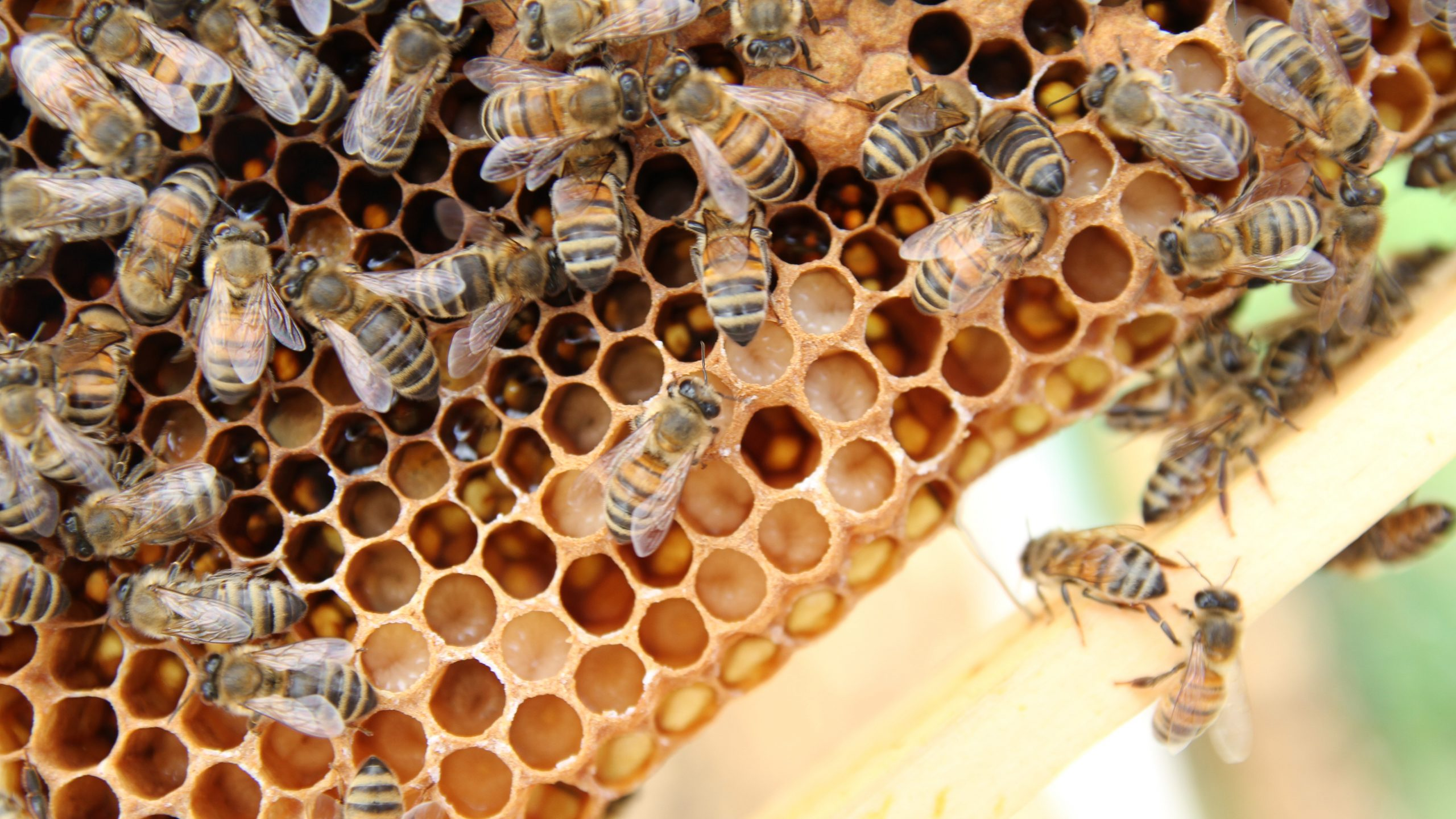 honey bees swarm on a hives