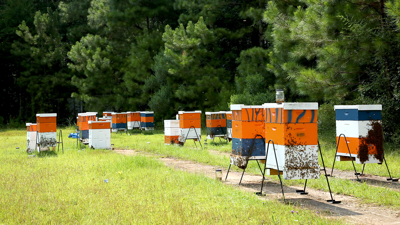 Farmville Auburn Bee Yard, AL, Honey and Hives with bees flying around in the summer heat.